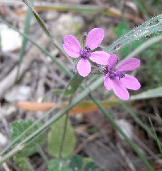 Erodium malacoides - érodium à feuilles de mauve Avril_11