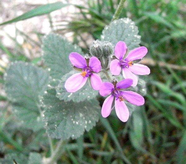 Erodium malacoides - érodium à feuilles de mauve Avril_12