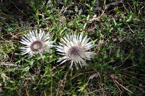 fleurs en septembre dans le Briançonnais (05) Carlin10