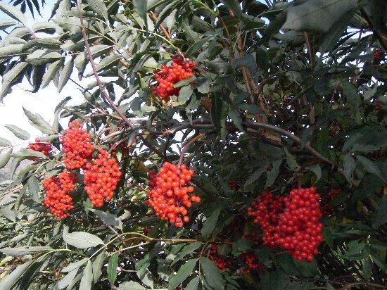 Sambucus racemosa - sureau rouge Copy_102