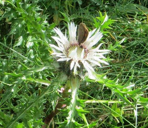 fleurs en septembre dans le Briançonnais (05) Copy_104