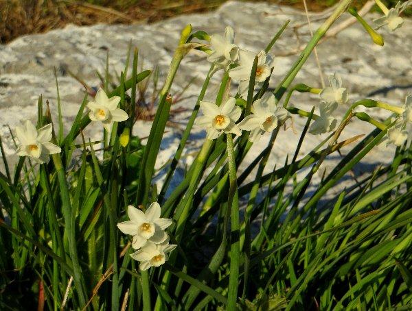 Narcissus - les narcisses - Page 3 Copy_o31