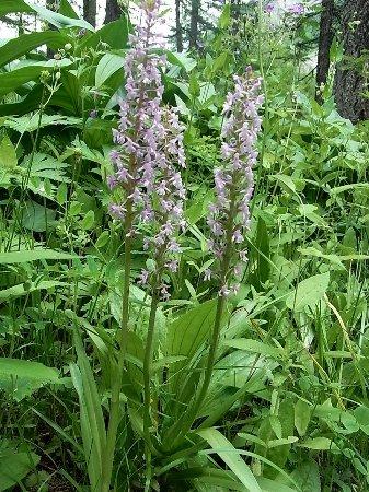 Gymnadenia conopsea - orchis moucheron, orchis moustique Copy_o42