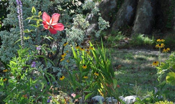 Hibiscus coccineus Copy_o76