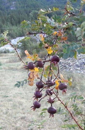baies et fruits en septembre dans le Briançonnais (05) Copy_o99