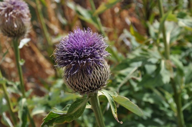 fleurs en septembre dans le Briançonnais (05) Dsc_0010
