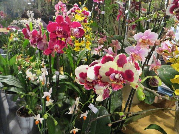 """Exposition d'orchidées tropicales """"botaniques"""" Favrie10"""