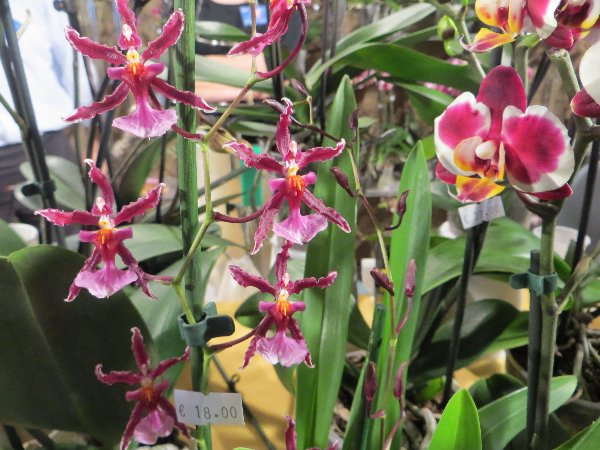 """Exposition d'orchidées tropicales """"botaniques"""" Favrie11"""