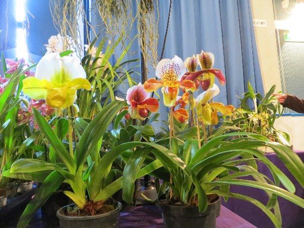 """Exposition d'orchidées tropicales """"botaniques"""" Favrie19"""
