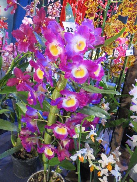 """Exposition d'orchidées tropicales """"botaniques"""" Favrie21"""