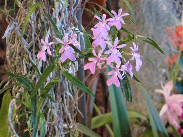 """Exposition d'orchidées tropicales """"botaniques"""" Favrie23"""