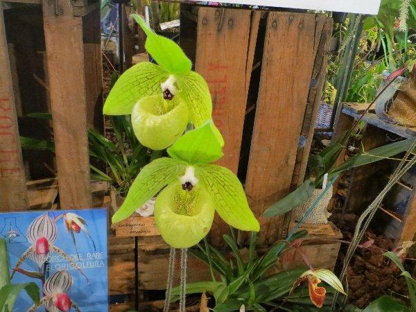 """Exposition d'orchidées tropicales """"botaniques"""" Favrie26"""