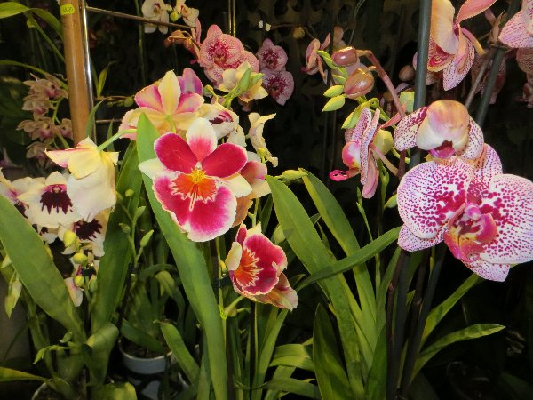 """Exposition d'orchidées tropicales """"botaniques"""" Favrie29"""