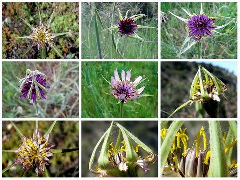 Tragopogon pratensis - salsifis des prés  Fleurs10