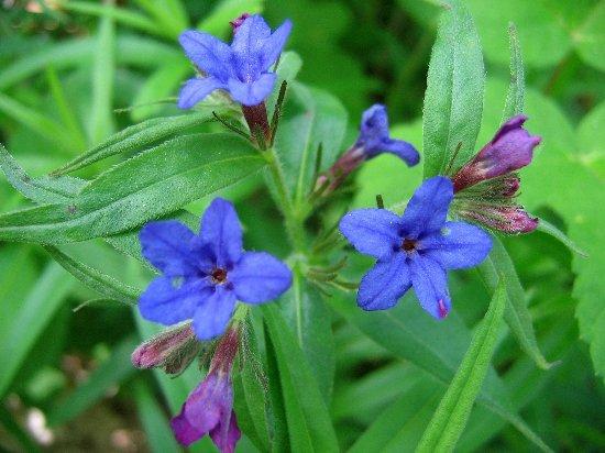 Buglossoides purpurocaerulea (= Lithospermum purpurocaeruleum) - grémil bleu Gramil11