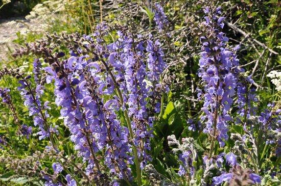 Salvia pratensis - sauge des prés  Juin_213