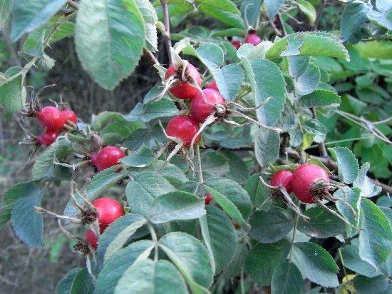 baies et fruits en septembre dans le Briançonnais (05) Septem12