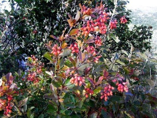 baies et fruits en septembre dans le Briançonnais (05) Septem17