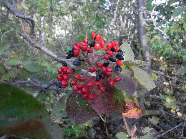 baies et fruits en septembre dans le Briançonnais (05) Septem18