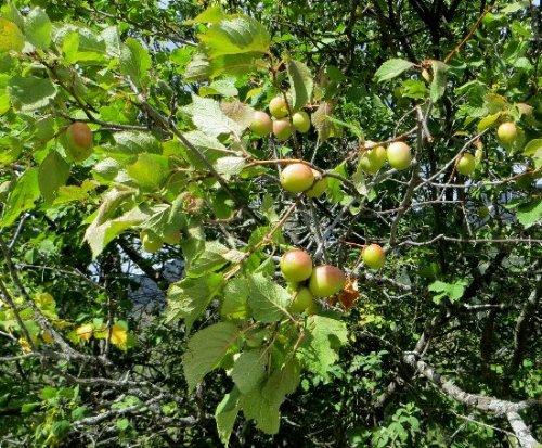 baies et fruits en septembre dans le Briançonnais (05) Septem21
