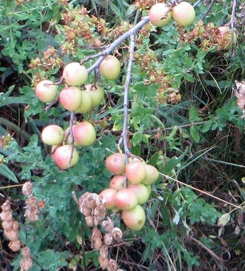 baies et fruits en septembre dans le Briançonnais (05) Septem22