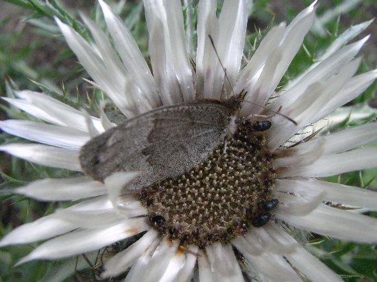 fleurs en septembre dans le Briançonnais (05) Septem32