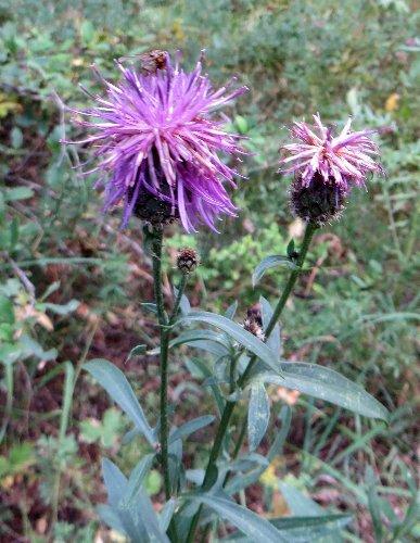 fleurs en septembre dans le Briançonnais (05) Septem33