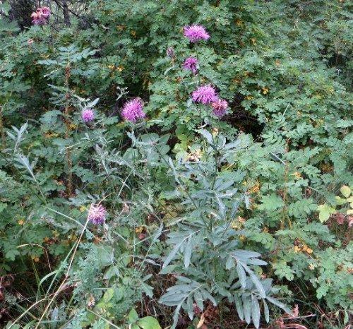 fleurs en septembre dans le Briançonnais (05) Septem34