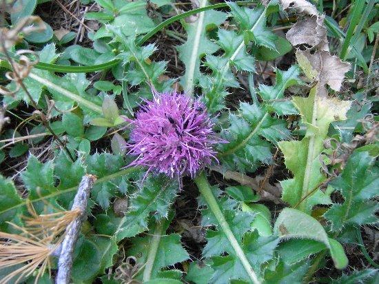 fleurs en septembre dans le Briançonnais (05) Septem35
