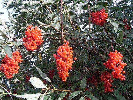 Sambucus racemosa - sureau rouge Sureau11