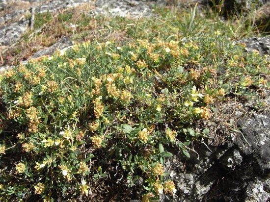 fleurs en septembre dans le Briançonnais (05) Teucri11