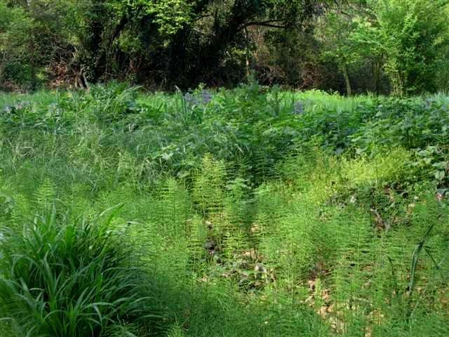 Equisetum telmateia - grande prêle Verger10