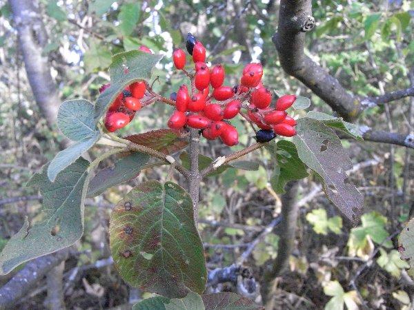 baies et fruits en septembre dans le Briançonnais (05) Viorne10
