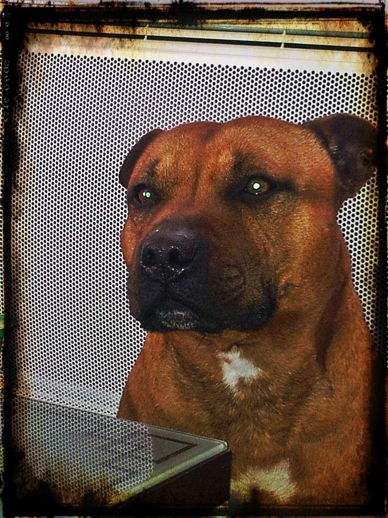 Hélyos, mon Staffordshire Bull-Terrier 20130310