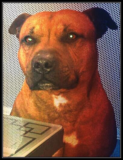 Hélyos, mon Staffordshire Bull-Terrier 20130311