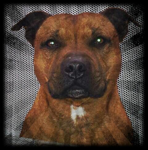 Hélyos, mon Staffordshire Bull-Terrier 20130312