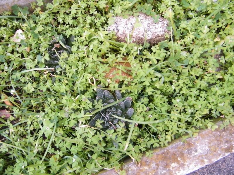 Oxalis pes-caprae - oxalide des Bermudes 28_jan10