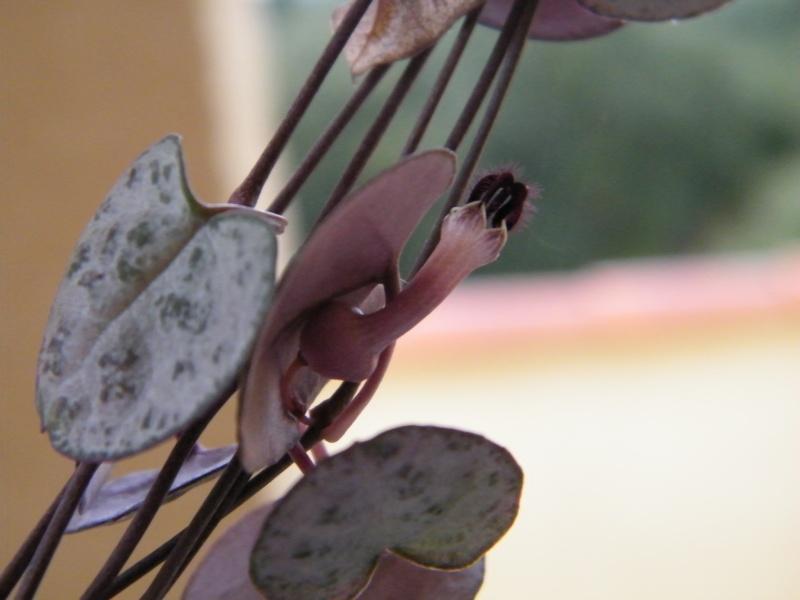 Rhipsalis - le genre Novemb10