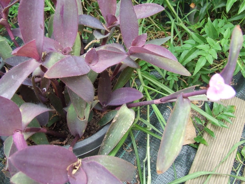 Tradescantia pallida (= Setcreasea purpurea) - misère pourpre Trades10