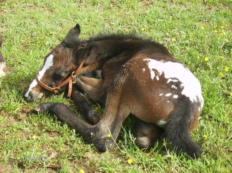 CONCOURS PHOTO : Les chevaux paresseux... Campbe10