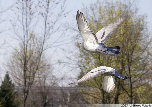 Kuda lete krepšićki golubovi Golubo10