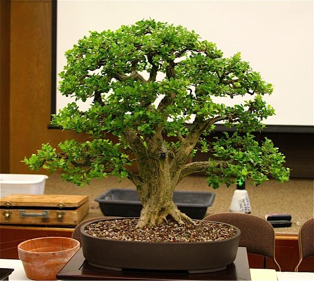 Live oak style bonsai trees Boxwoo10