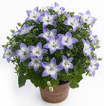 Домашние цветы  Nddunn10