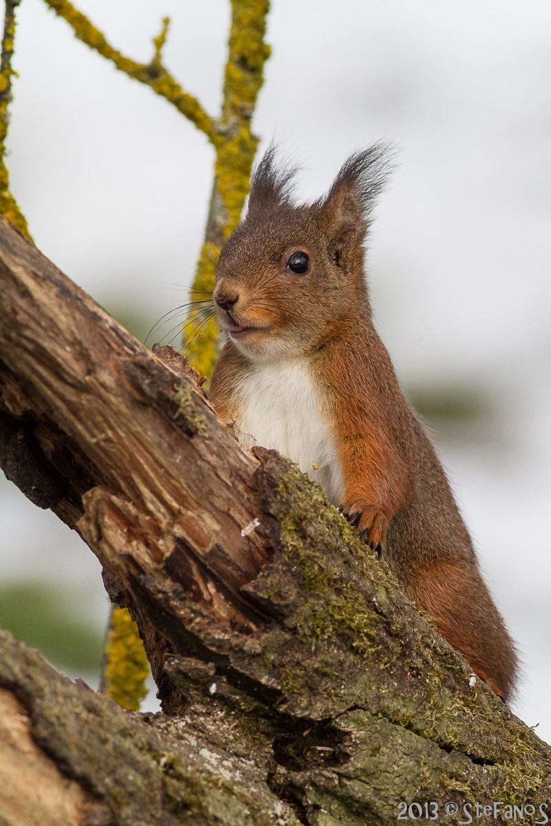 scoiattolo che fa la lingua Img_6510