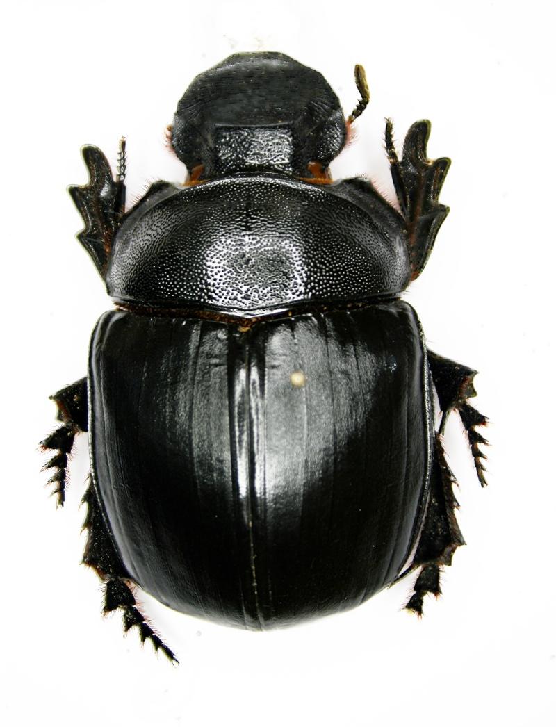[Heliocopris tyrannus] Heliocopris thaïlandais Helioc11