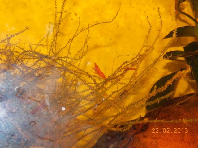 Les crevettes Red Cherry Dscn5111