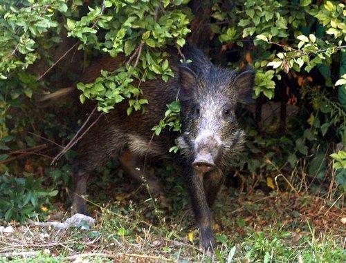 Var La chasse aux sangliers va s'intensifier dans le Var 20159510