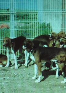 Des chiens de chasse volés sauvés par Facebook !  Les-ch10