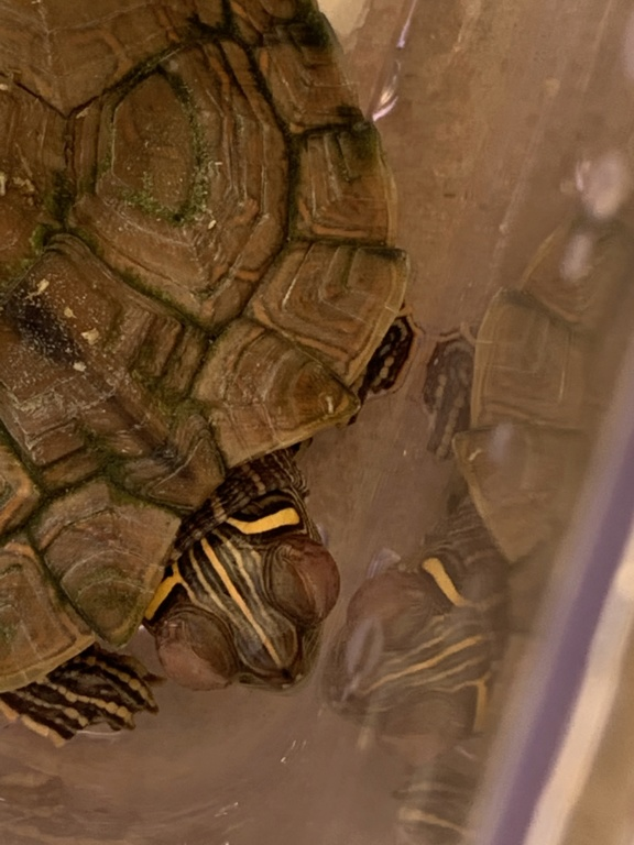 Tartaruga d'acqua occhi gonfi 31eeb510