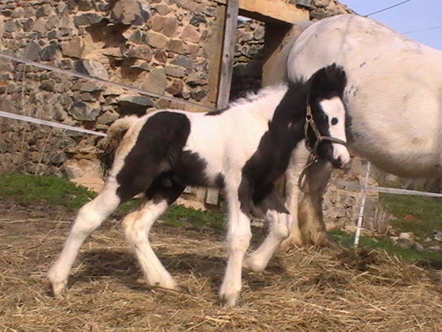 les frisons de patricia elevage de chevaux frisons et irish-cobs Pic_4642